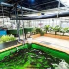 Learn Aquaponic – the circular food production system online by edX